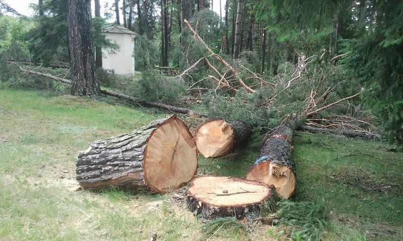Taglio dei grossi pini nel piccolo parco dello Chalet dela Mot