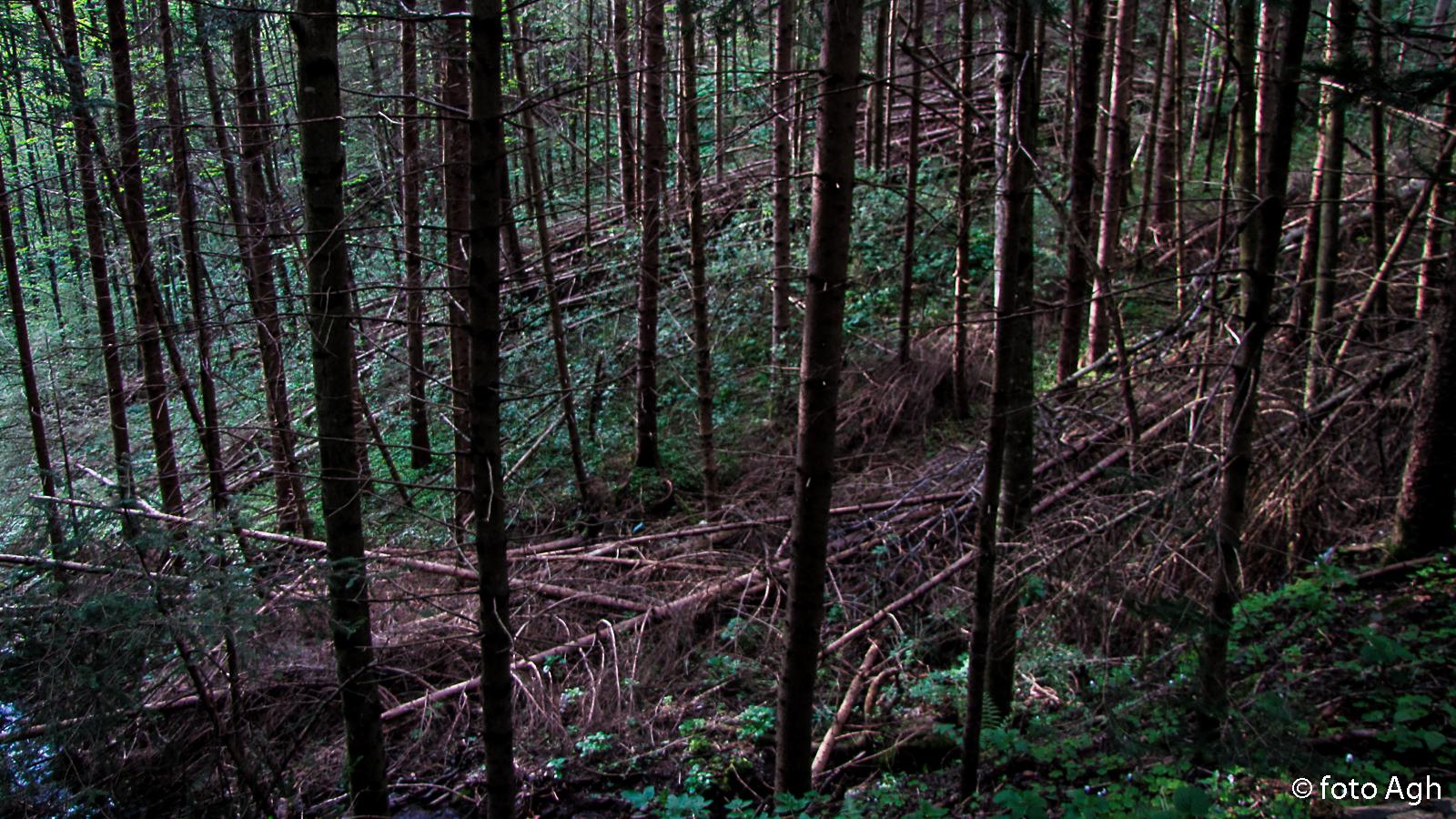Tipico bosco del pinetano. Gli schianti sono migliaia e nessuno li rimuove da anni